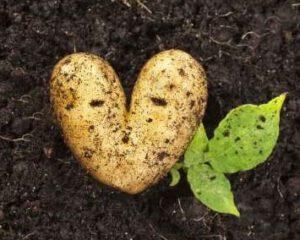 Heart,Shaped,Potato,Lying,On,The,Garden,Soil,Background,In