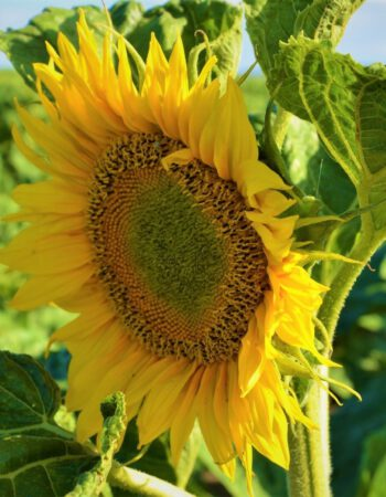 Sonnenblume_2