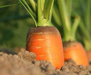 carrot-1565597_640