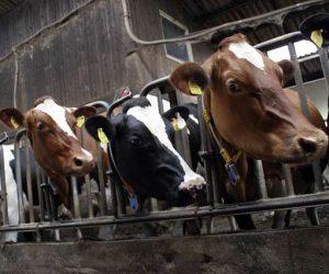 cows-552947_1280