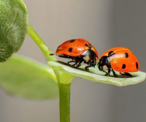 ladybugs-g392851622_1920