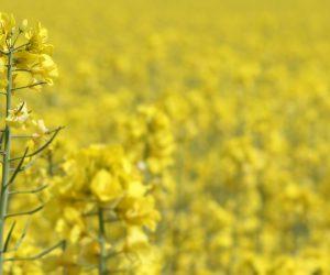 oilseed-rape-gf5551a4fa_1920